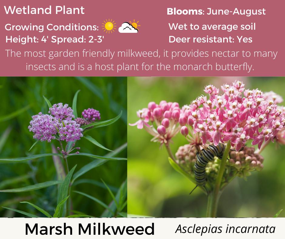 Marsh Milkweed