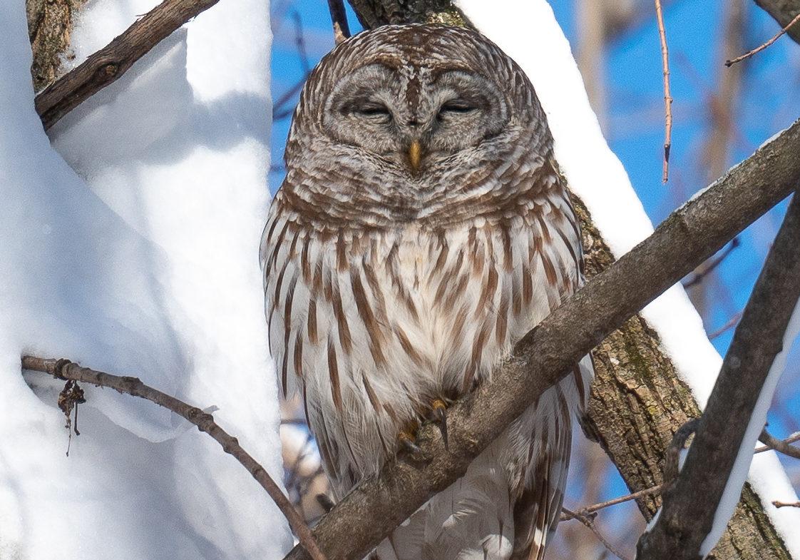 Barred Owl Taken by Dennis Miller