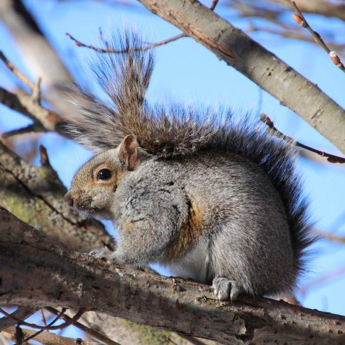 GraySquirrel_HollyS