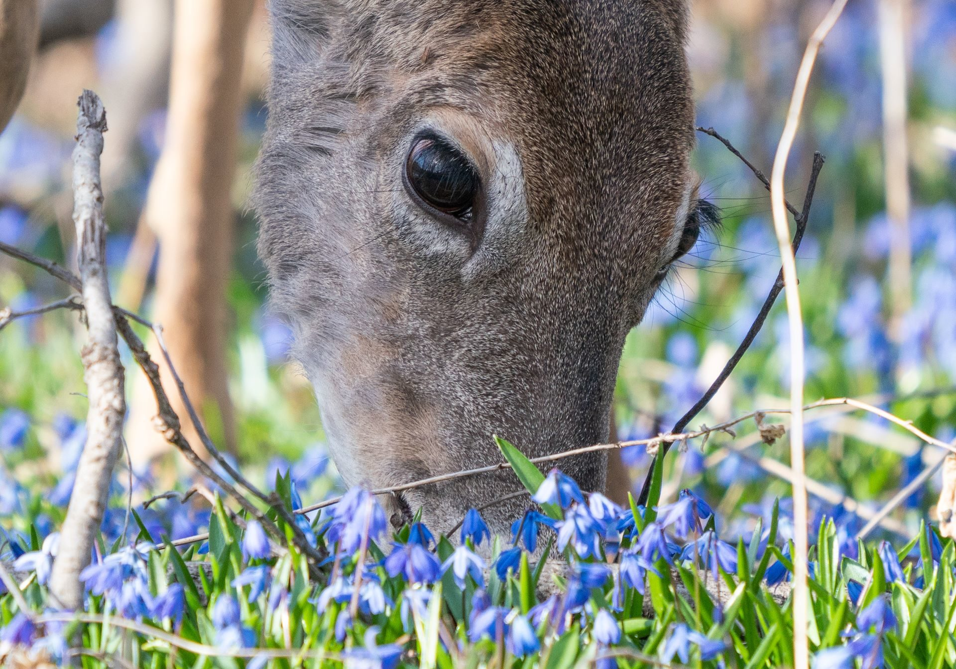 deer bluebells eating resized