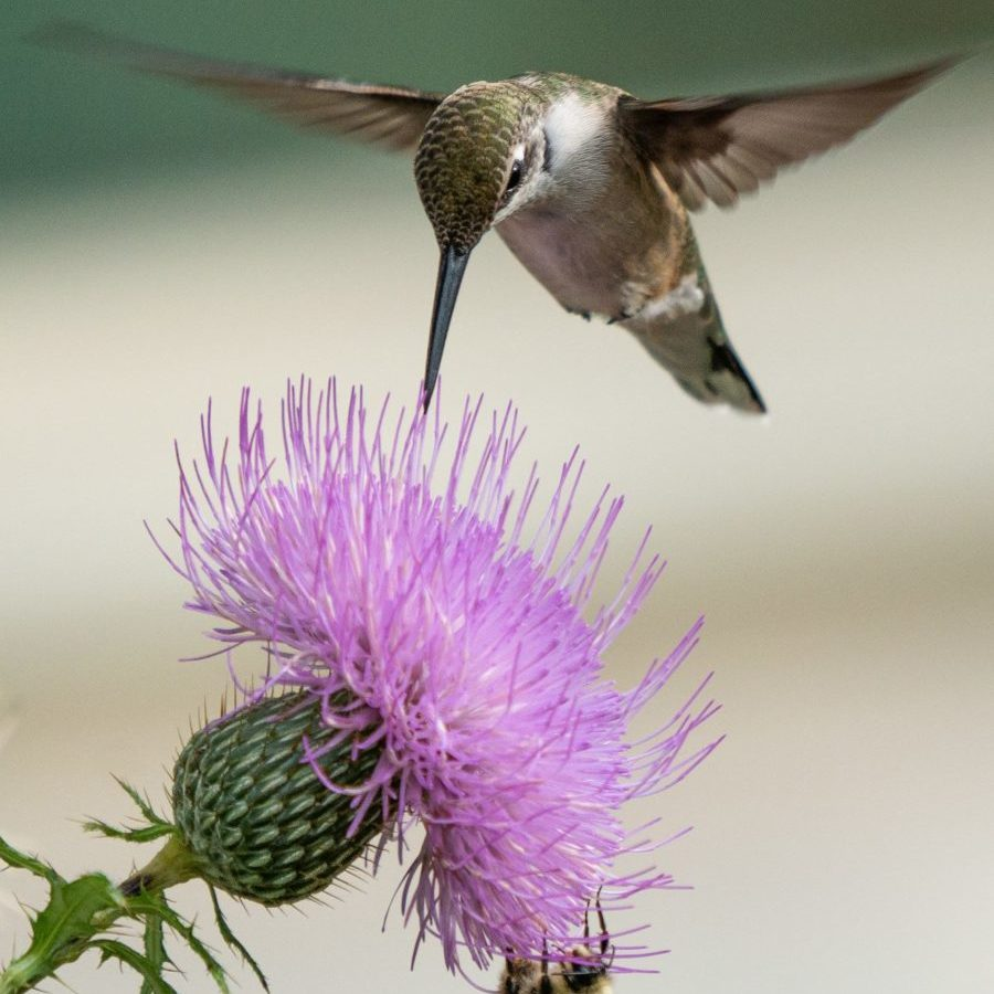 ruby-throated hummingbird at thistle Dennis Milller. resized