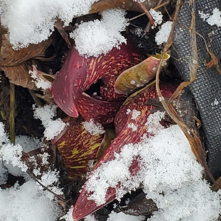 skunk cabbage in snow Diane Lembck photographer