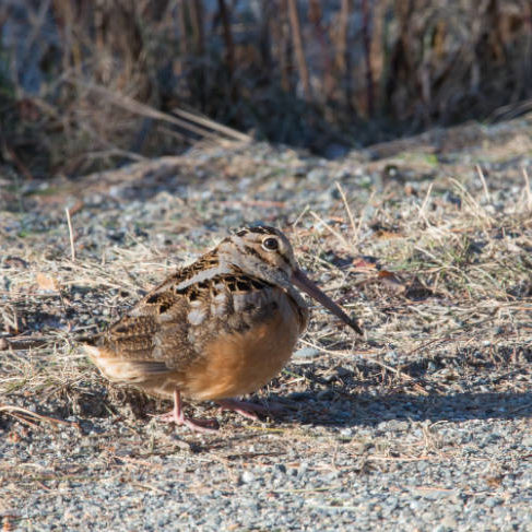 Photo of an American Woodcock, a bizarre looking woodland shorebird in the sandpiper family